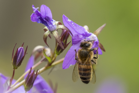 mellifera: Closeup of a western honey bee or European honey bee (Apis mellifera) feeding nectar of purple bellflower Campanula flowers Stock Photo