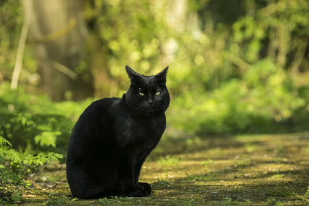 Black cat perched in a forest, looking around on a sunny day. The forest is green and sunlight falls through the trees. Stock Photo