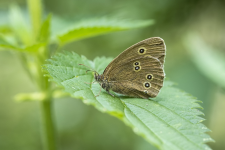Close-up of a Ringlet butterfly (Aphantopus hyperantus) perched on a leaf in a forest.