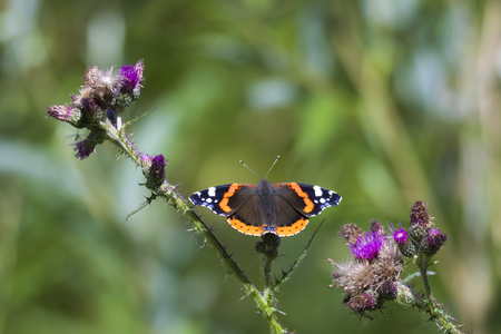 Close-up macro of a Red Admiral butterfly, Vanessa atalanta, resting on on a purple thistle flower