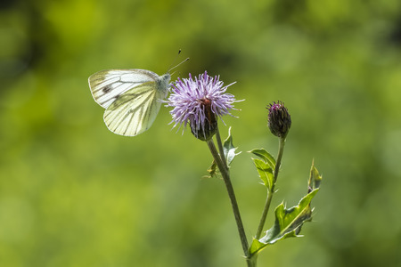 pieris: Green-veined white (Pieris napi) hangs on a purple thistle drinking nectar.