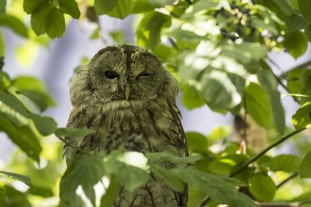 Closeup portrait of a tawny owl or brown owl (Strix aluco), winking his eye. These owls are  commonly found in woodlands. Stock Photo