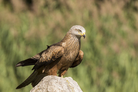 Closeup portrait of a Black Kite, Milvus migrans, bird of prey, perched on a rock on a sunny day Stock Photo