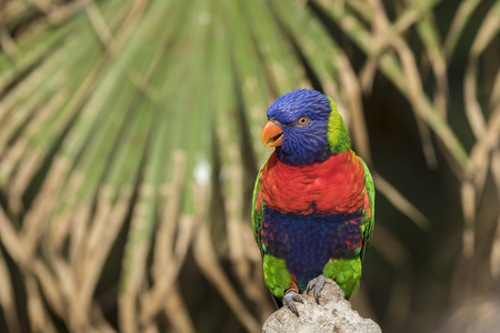 Closeup of a perched rainbow lorikeet (Trichoglossus moluccanus) or rainbow lory parrot. A vibrant colored bird native to Australia.