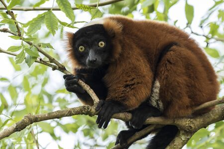 primates: A captive red ruffed lemur (Varecia rubra) perched in a tree in a forest. These primates are native to the rainforests of Masoala, in the northeast of the island Madagascar.
