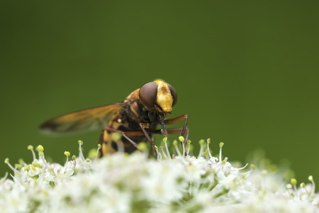 Volucella zonaria, the hornet mimic hoverfly, feeding nectar from white flowers