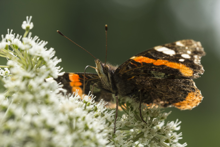 Closeup of a Red Admiral butterfly, Vanessa atalanta, feeding nectar on white flowers