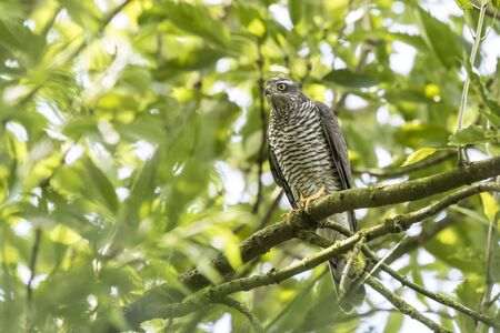 accipiter gentilis: Close-up of a female goshawk, Accipiter gentilis. This bird of prey is perched on a branch in a green tree.