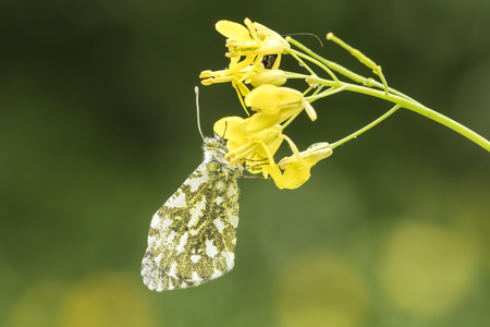 Side view close-up of a female Orange tip butterfly (anthocharis cardamines) feeding from the yellow flowers of rapeseed (Brassica rapa).