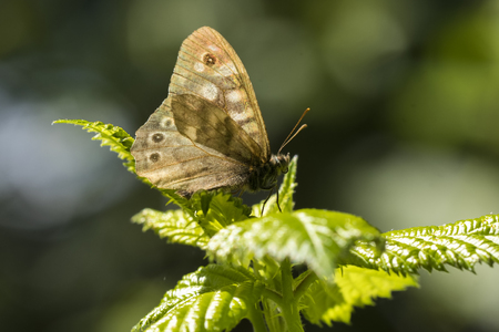 Side view of a speckled wood butterfly, Pararge aegeria. Resting on a leaf in a dark forest with open wings lit by sunlight