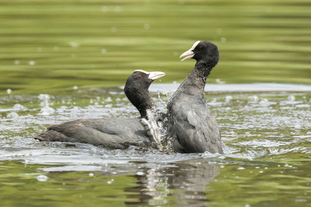 Close up of two Eurasian coots Fulica atra waterfowl showing aggression and fighting