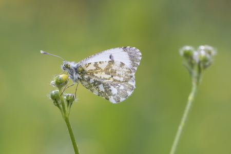 Side view close-up of a Female Orange tip butterfly (anthocharis cardamines) drying her wings in the sun in a meadow during spring season