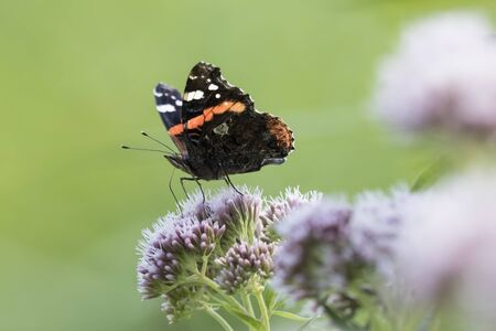 Red Admiral butterfly, Vanessa atalanta, feeding on white flowers Stock Photo