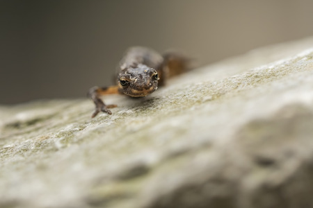 Close-up of a smooth newt, also known as the common newt (Lissotriton vulgaris; formerly Triturus vulgaris) walking on a rock.