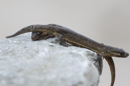 newt: Close-up of a smooth newt, also known as the common newt (Lissotriton vulgaris; formerly Triturus vulgaris) walking on a rock.