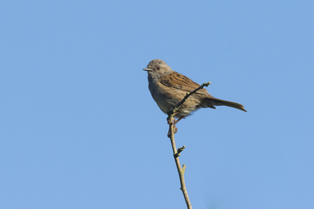 finding a mate: Dunnock (Prunella modularis) perched ona branch, singing a morning song.