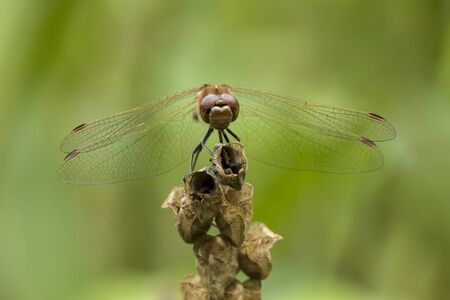 sympetrum vulgatum: Close-up of a male vagrant darter, Sympetrum vulgatum, hanging on vegetation