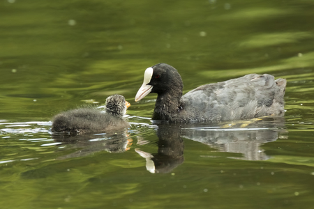 Eurasian coot, Fulica atra, feeding chick on the water surface