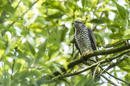 Close-up of a female goshawk, Accipiter gentilis. This bird of prey is perched on a branch in a green tree.