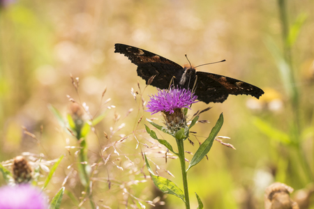 European Peacock butterfly (Aglais io) feeding of flowers in a colorful meadow. Stock Photo