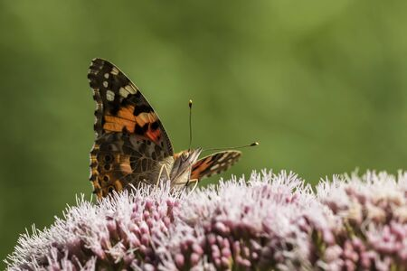 Painted Lady butterfly (vanessa cardu) feeding nectar from flowers