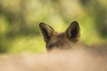 Wild red fox (vulpes vulpes) raises her head and ears and listens carefully for any threats. Her eyes are just above the foreground making the picture mystique Stock Photo