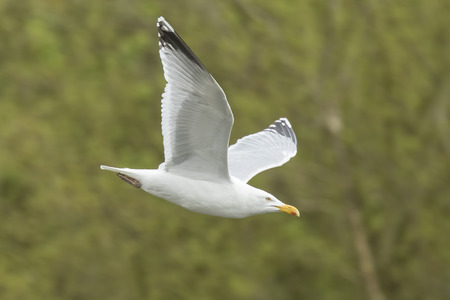 Close-up of a seagull flying with his wings spread through a forest.  Stock Photo
