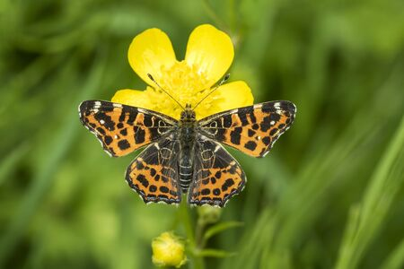 Top view of a map butterfly (Araschnia levana) resting on a yellow buttercup flower. This butterfly is a Spring season generation in Spring brood outfit. Stock Photo