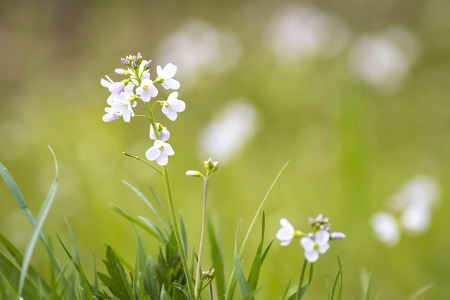 Cuckooflower, Cardamine pratensis, blooming in a meadow during spring. This plant is a host plant for the orange tip butterfly (Anthocharis cardamines). Stock Photo