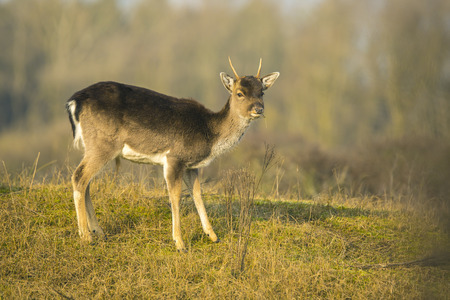 Fallow deer (Dama Dama) fawn in winter season. The natural winter colors are clearly visible on the background.