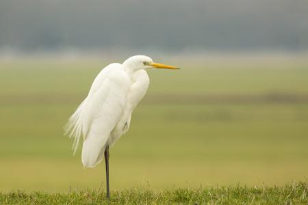 Close-up of a Great egret (Ardea alba) bird hunting and fishing in grassland at Dutch farmland