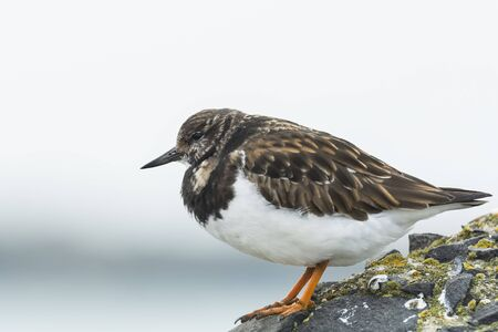 dissimulation: Close up of a Ruddy turnstone wading bird, Arenaria interpres, foraging in between the rocks at a Dutch shore. These birds live in flocks at shore and are migratory. Here found in winter
