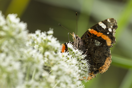 Red Admiral butterfly, Vanessa atalanta, feeding pollen and nectar from a white flower