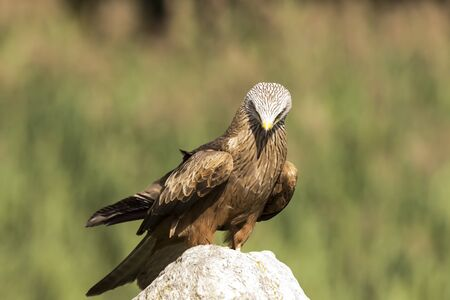 zwarte: Closeup portrait of a Black Kite, Milvus migrans, bird of prey, perched on a rock on a sunny day Stock Photo