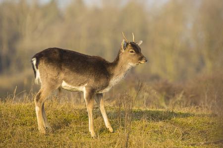 Damhert (Dama Dama) fawn in winterseizoen. De natuurlijke winterkleuren zijn duidelijk zichtbaar op de achtergrond. Stockfoto