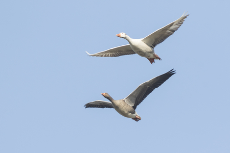 Closeup of two greylag geese (Anser Anser) in flight against a blue sky Stock Photo