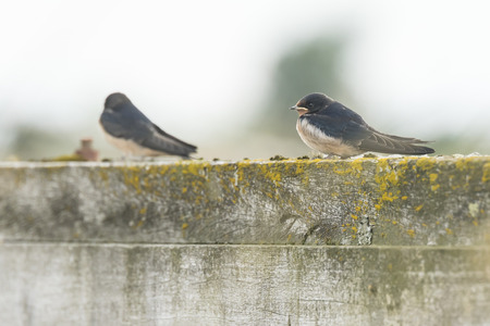 hirundo rustica: Two Barn Swallows (Hirundo rustica) resting after hunting