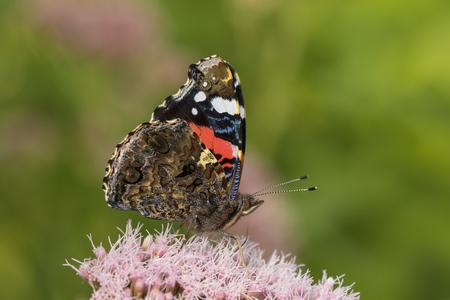 Red Admiral butterfly, Vanessa atalanta, feeding nectar.