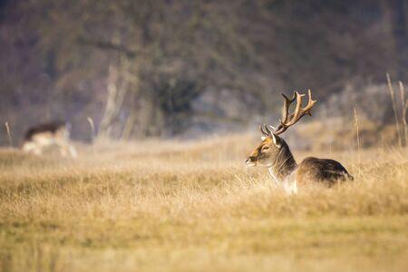 Damhert (Dama Dama) hert met grote geweitakken die in een gele weide rusten tijdens zonsopgang. De aardkleuren zijn duidelijk zichtbaar op de achtergrond, selectieve focus wordt gebruikt. Stockfoto - 77493809