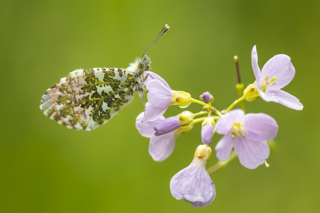 Closeup of a Male Orange tip (anthocharis cardamines) resting and feeding nectar from cuckooflower (Cardamine pratensis) in a green meadow during Spring season.