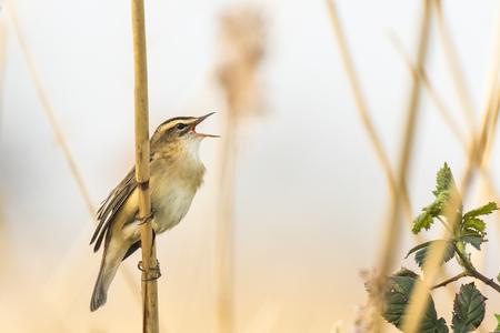 春の繁殖期に女性を引き付けるためにスゲ ウグイス鳥、オオヨシキリ schoenobaenus、歌のクローズ アップ