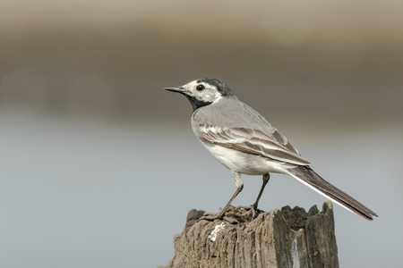 pied: Closeup portrait of a White Wagtail (Motacilla alba) bird with white, gray and black feathers. The White Wagtail is the national bird of Latvia
