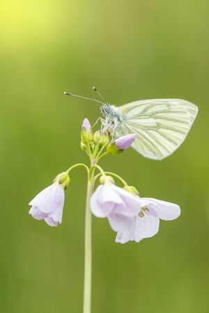 pieris: Closeup of a green-veined white (Pieris napi) butterfly resting and feeding nectar from cuckooflower (Cardamine pratensis) in a green meadow during Spring season.