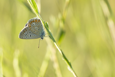 Early morning Common Blue butterfly, Polyommatus icarus, resting in a meadow Stock Photo