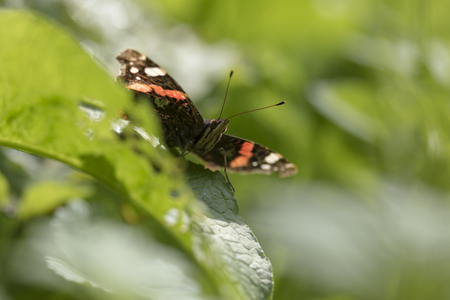 Red Admiral butterfly, Vanessa atalanta, resting on a stem in grassland.