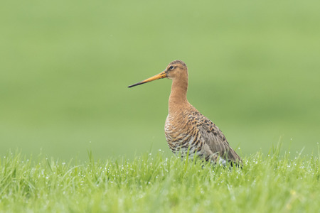 A black-tailed godwit (Limosa Limosa) just returned for this season calling and shouting on farmland with afternoon sunlight in front of him. Most of the European population breed in the Netherlands. Stock Photo