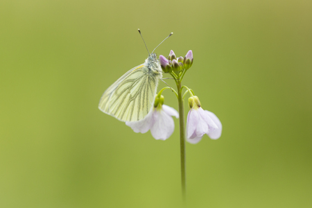 Closeup of a green-veined white (Pieris napi) butterfly resting and feeding nectar from cuckooflower (Cardamine pratensis) in a green meadow during Spring season.