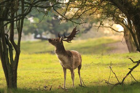 Proud male fallow deer stag, Dama Dama, with big antlers foraging for leaves and berries in a dark green forest during Fall season sunrise. Stock Photo