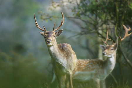 Close up portrait of two fallow deers standing in a forest during Autumn season Stock Photo
