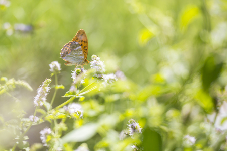 clearly: Side view closeup of a Silver-washed fritillary butterfly Argynnis paphia feeding on white flowers in a brightly lit and vibrant colored floral meadow. The patterns on the wings are clearly visible. Stock Photo